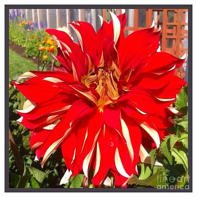 Photograph - Red And White Dahlia  by Susan Garren