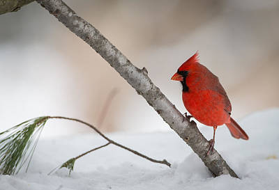 Birds Royalty-Free and Rights-Managed Images - Red and White by Everet Regal