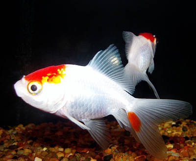 Photograph - Red And White Fantail Goldfish by Shere Crossman