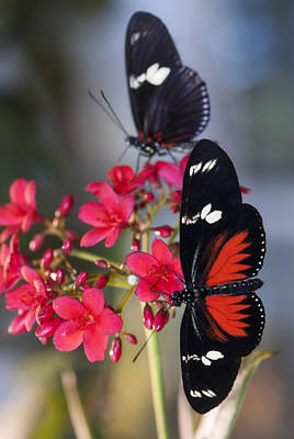 Red And Black Butterfly Photograph - Red And White Longwing Butterflies  by Saija  Lehtonen