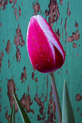 Chip Photograph - Red And White Tulip by Garry Gay
