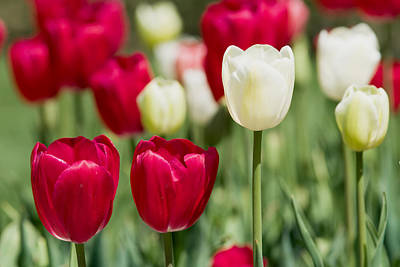 Photograph - Red And White Tulips by Rospotte Photography