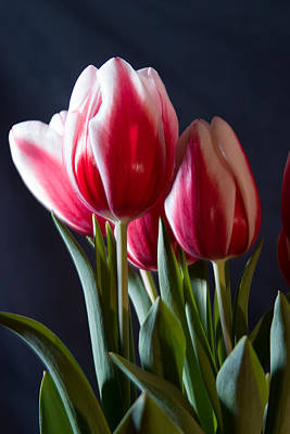 Photograph - Red And White Tulips by Jeff Folger