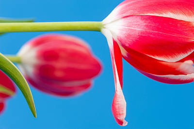 Photograph - Red And White Tulips by Joan Herwig