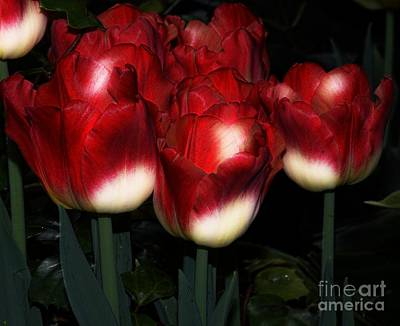 Red And White Tulips Art Print by Kathleen Struckle