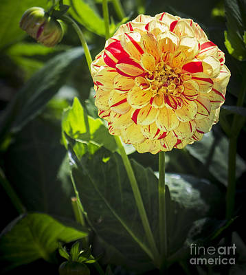 Photograph - Red And Yellow Dahlia by Sonya Lang