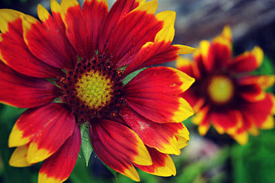 Photograph - Red And Yellow Flower by Amber Summerow