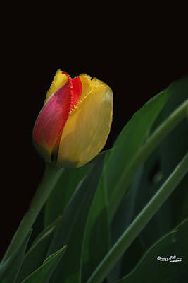 Photograph - Red And Yellow Fringe Tulip by Bill Woodstock