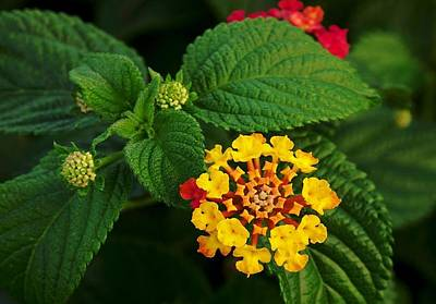 Photograph - Red And Yellow Lantana Flower And Green Leaves  by Tracey Harrington-Simpson