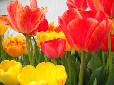 Photograph - Red And Yellow Rulips by Marian Hebert