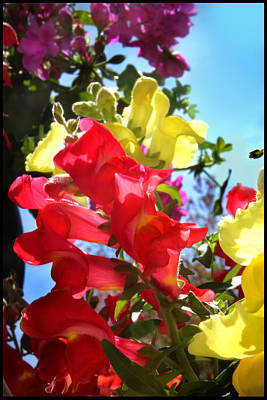 Photograph - Red And Yellow Snapdragons I by Aya Murrells