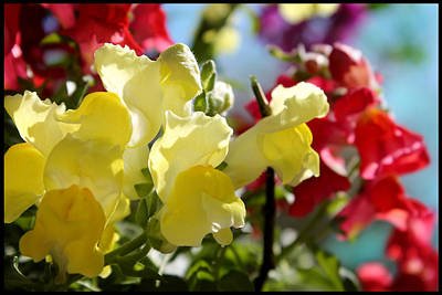 Red And Yellow Snapdragons II Art Print by Aya Murrells