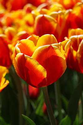 Photograph - Red And Yellow Triumph Type Tulip by Allen Beatty