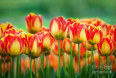 Photograph - Red And Yellow Tulip by Katka Pruskova