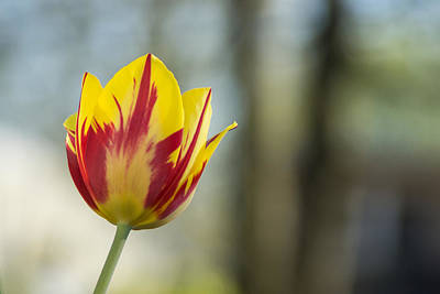 Tulips Photograph - Red And Yellow Tulip On Blurred Background by Photographic Arts And Design Studio