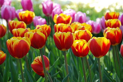 Art Print featuring the photograph Red And Yellow Tulips  by Allen Beatty