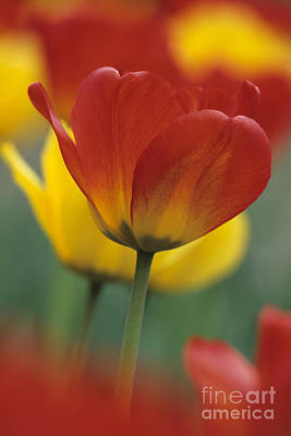 Photograph - Red And Yellow Tulips by Chris Scroggins