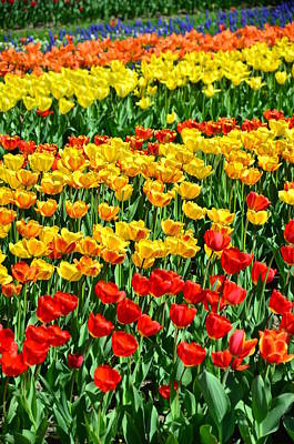 Red And Yellow Tulips Art Print by Gynt