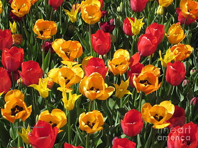 Photograph - Red And Yellow Tulips by Kathie Chicoine