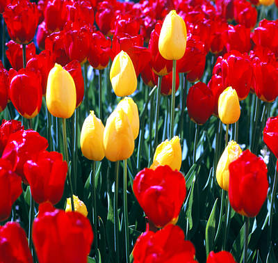 Red And Yellow Tulips - Square Art Print