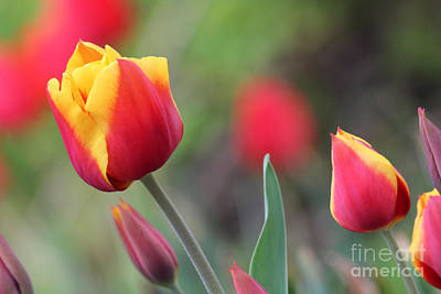 Photograph - Red And Yellow Tulips by Trina  Ansel