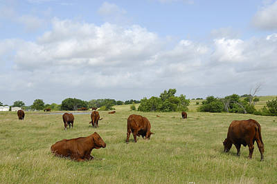 Art Print featuring the photograph Red Angus Cattle by Charles Beeler