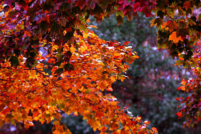 Photograph - Red Autumn Leaves by Andy Lawless