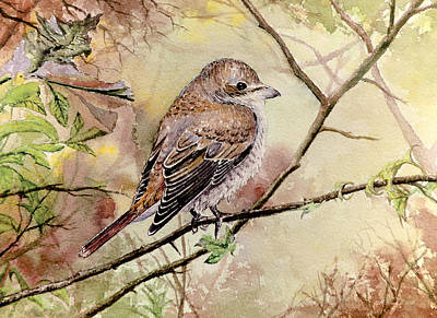 Red Backed Shrike Original by Andrew Read