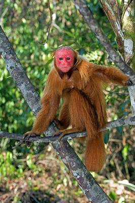Uakari Wall Art - Photograph - Red Bald Uakari In A Tree by Tony Camacho/science Photo Library