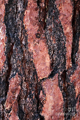 Photograph - Red Bark Details by John Rizzuto