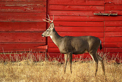 Red Barn Buck Art Print