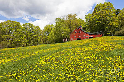 Photograph - Red Barn In Field Of Dandelions by Alan L Graham