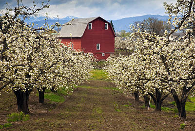 Pear Tree Photograph - Red Barn Spring by Mike  Dawson