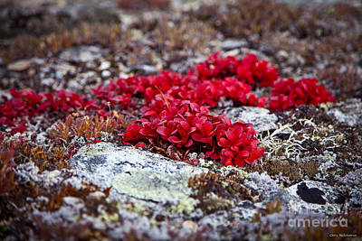 Red Bearberry Art Print