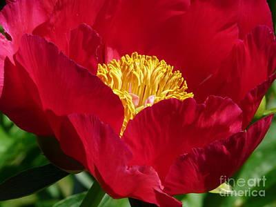 Photograph - Red Beauty by Avis  Noelle