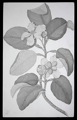 Guinea Wall Art - Photograph - Red Beech Tree (dillenia Alata) by Natural History Museum, London/science Photo Library