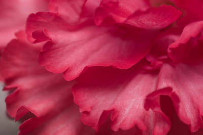 Photograph - Red Begonia Petals by Priya Ghose
