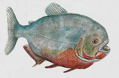 Piranha Painting - Red Bellied Piranha by Richard Goohs