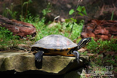Photograph - Red-bellied Turtle 20130506_28 by Tina Hopkins