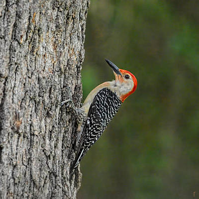 Photograph - Red Bellied Woodpecker 05.28.2014 by Jai Johnson