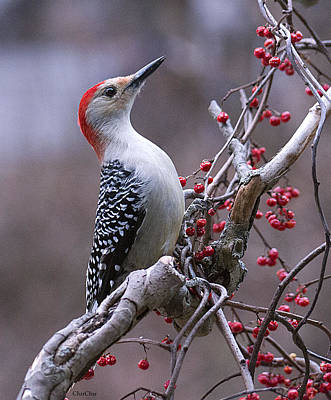 Bittersweet Photograph - Red Bellied Woodpecker by Charlene Palmer