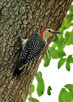 Photograph - Red-bellied Woodpecker. by Chris  Kusik