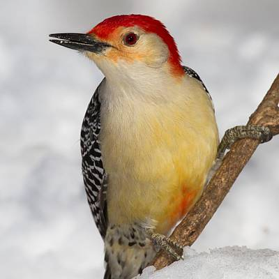 Red Bellied Woodpecker Close Up Original