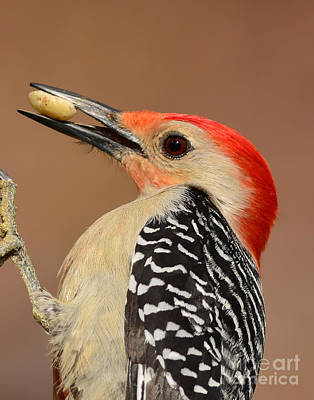 Photograph - Red Bellied Woodpecker Closeup by Kathy Baccari