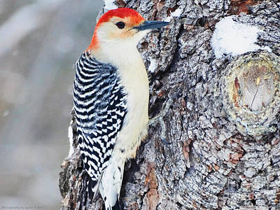 Photograph - Red Bellied Woodpecker by Gena Weiser