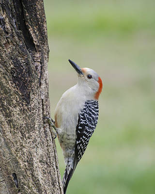 Photograph - Red Bellied Woodpecker by Heather Applegate