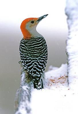 Berea Wall Art - Photograph - Red-bellied Woodpecker In Winter Snow by John Harmon