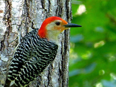 Photograph - Red-bellied Woodpecker by Jean Wright