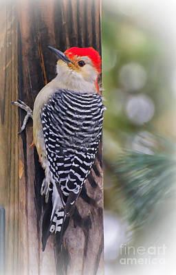 Red-bellied Woodpecker Photograph - Red-bellied Woodpecker by Kerri Farley