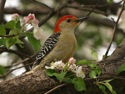 Red-bellied Woodpecker Original